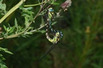 Southern Hawker Dragonfly (Aeshna cyanea)